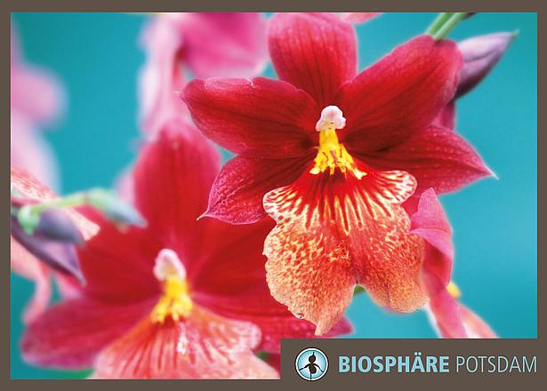Ausstellung Orchideenblüte in der Biosphäre Potsdam