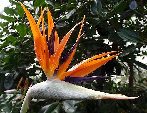 Paradiesvogelblume in der Biosphäre Potsdam