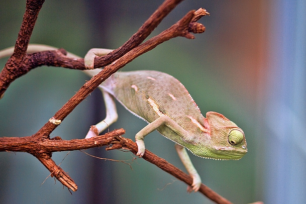 Veiled chameleon in the Biosphere Potsdam