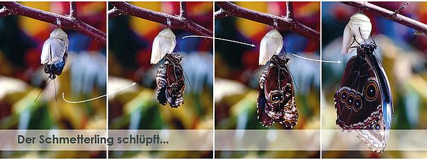 Schmetterling schlüpft im Schmetterlingshaus der Biosphäre Potsdam