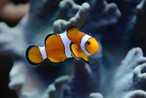 The common clownfish in the Biosphere Potsdam