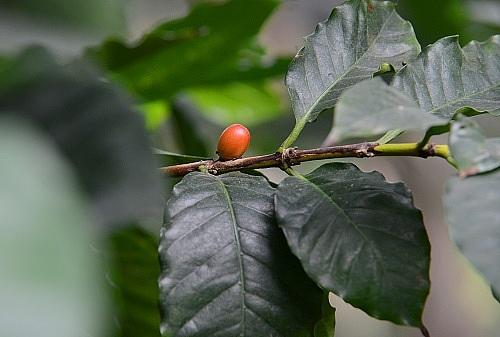 Kaffeestrauch in der Biosphäre Potsdam