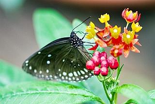 Führung, Schmetterlinge, Tropen