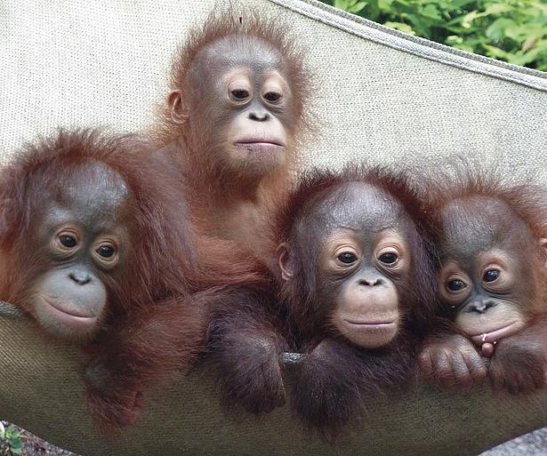 BOS Ausstellung letzte Hoffnung für Orang-Utan