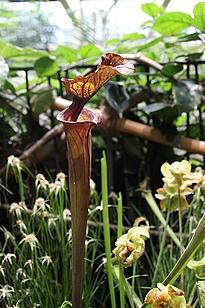 Karnivorenausstellung, Fleischfressene Pflanzen in Potsdam