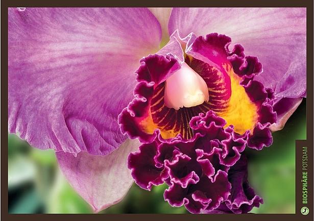 Cattleya die knigin der orchideen biosphre potsdam cattleya die knigin der orchideen altavistaventures Images