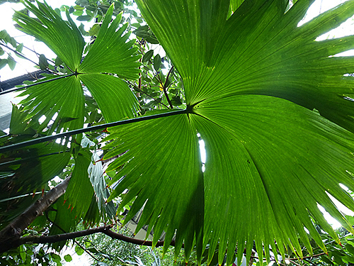 Panama-Hut-Pflanze in der Biosphäre Potsdam