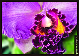Orchideenblüte, Cattleya, Blumen