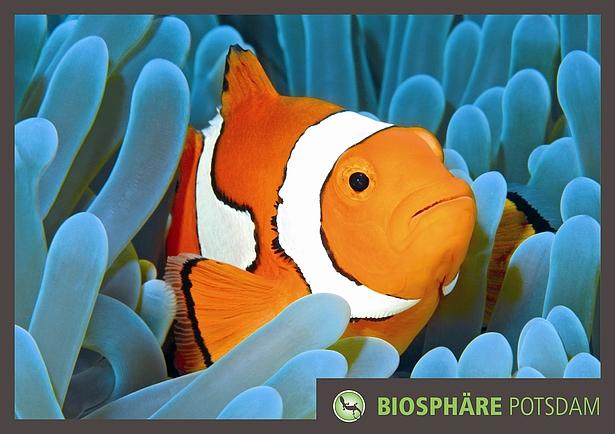 Clownfisch in der Aquasphäre der Biosphäre Potsdam