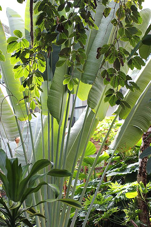 Baum der Reisenden in der Biosphäre Potsdam